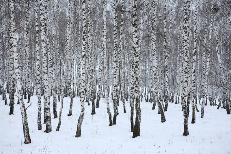 Madera de abedul en el invierno Rusia imagenes de archivo