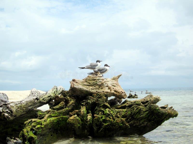 Madera de deriva en la playa con los pájaros - Cayes en Belice fotografía de archivo libre de regalías