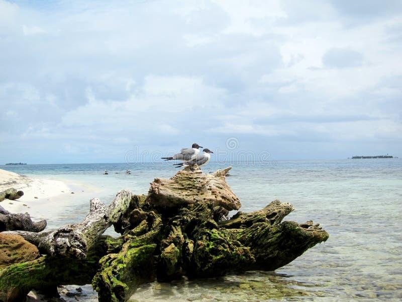 Madera de deriva en la playa con los pájaros - Cayes en Belice fotos de archivo libres de regalías
