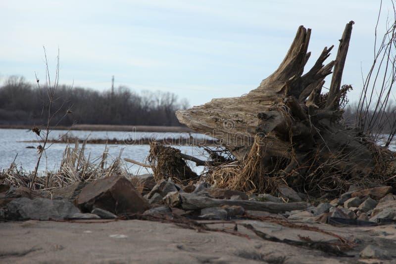 Madera de deriva en un pantano del río foto de archivo libre de regalías