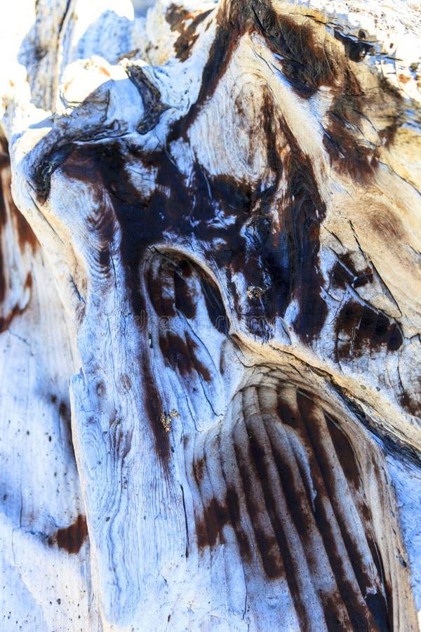 Madera de deriva - fondo de un cierre detallado para arriba de un burl envejecido del árbol con una textura definida imagen de archivo libre de regalías