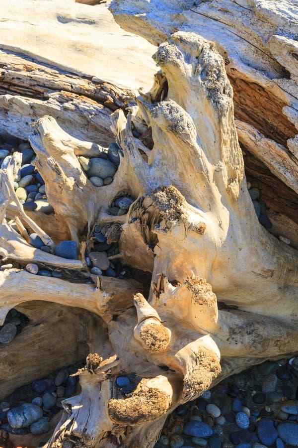 Madera de deriva - fondo de un cierre detallado para arriba de un burl envejecido del árbol con una textura definida foto de archivo libre de regalías