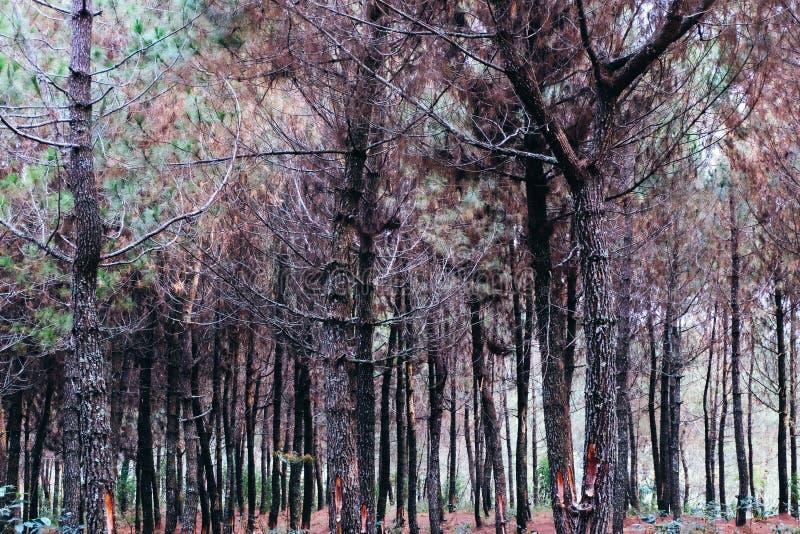 Madera de pinos fotos de archivo libres de regalías