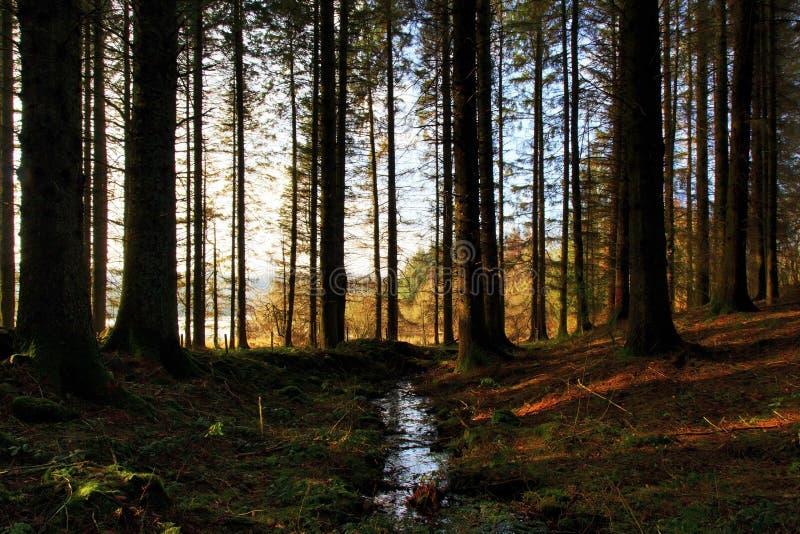Madera del árbol de pino en la orilla de Llyn On imagenes de archivo
