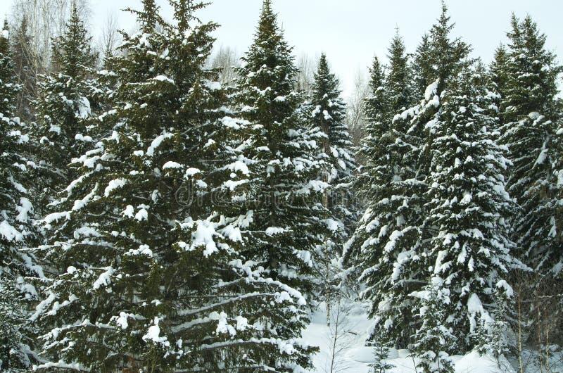 Madera en el invierno en Rusia Siberia fotografía de archivo