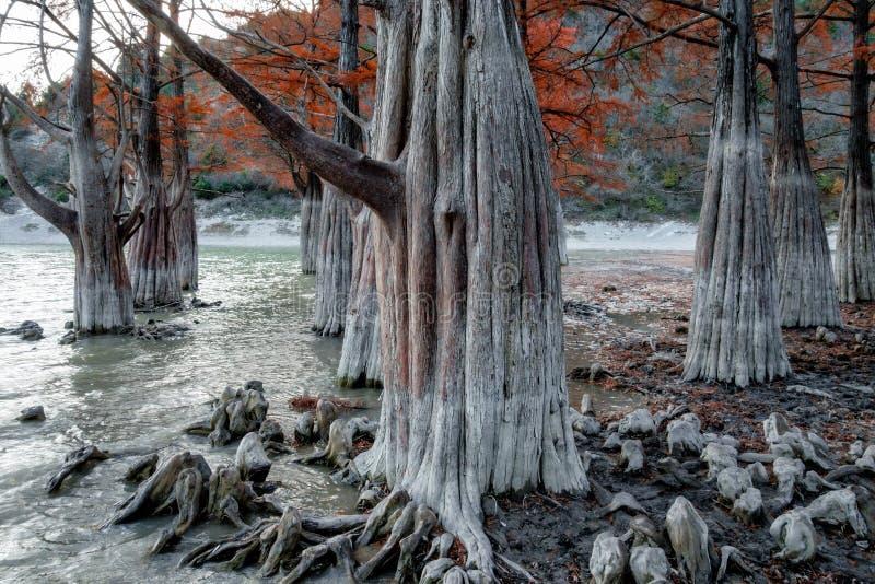 Madera roja de hadas del árbol de ciprés de pantano en el lago Sukko por Anapa, Rusia Paisaje escénico del otoño dramático hermos imagen de archivo