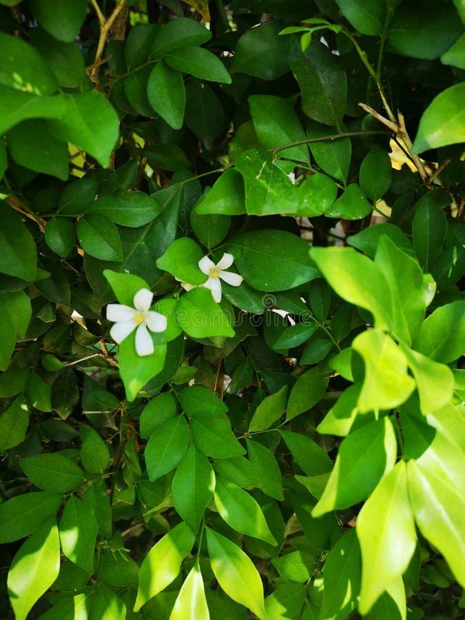 Madera satinada de Andaman, árbol de la caja de Chanese, árbol de corteza cosmético, jazmín anaranjado, jessamine anaranjado, sat foto de archivo libre de regalías