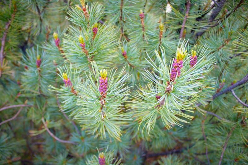 Madera traviesa del pino con los conos púrpuras fotos de archivo libres de regalías