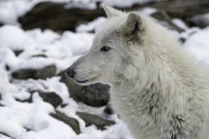 Madera Wolf Gray Wolf o Grey Wolf en la nieve imagen de archivo