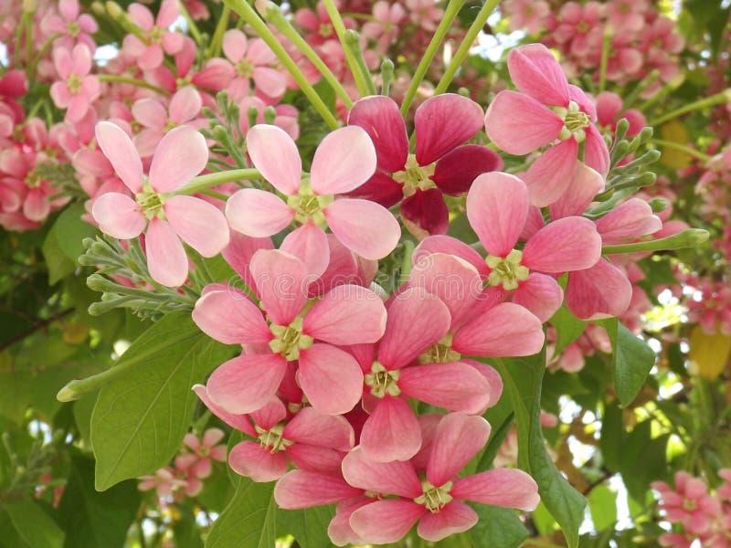Madhumalti kwiatu rośliny Rangoon pełzacz zdjęcie royalty free