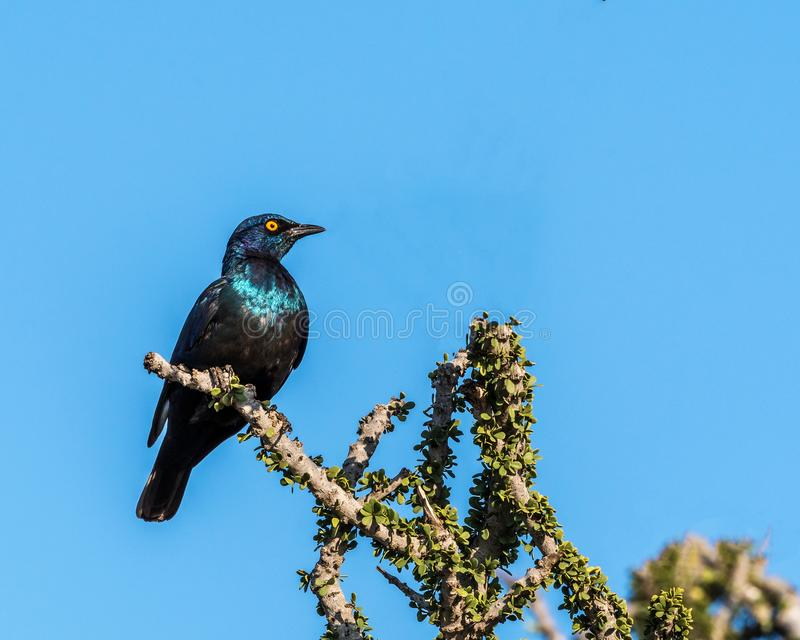 Cape Glossy Starling. In the Madikwe Game Reserve, a beautiful Cape Glossy Starling is perched in a tree top watching the safari vehicle from a distance royalty free stock photos