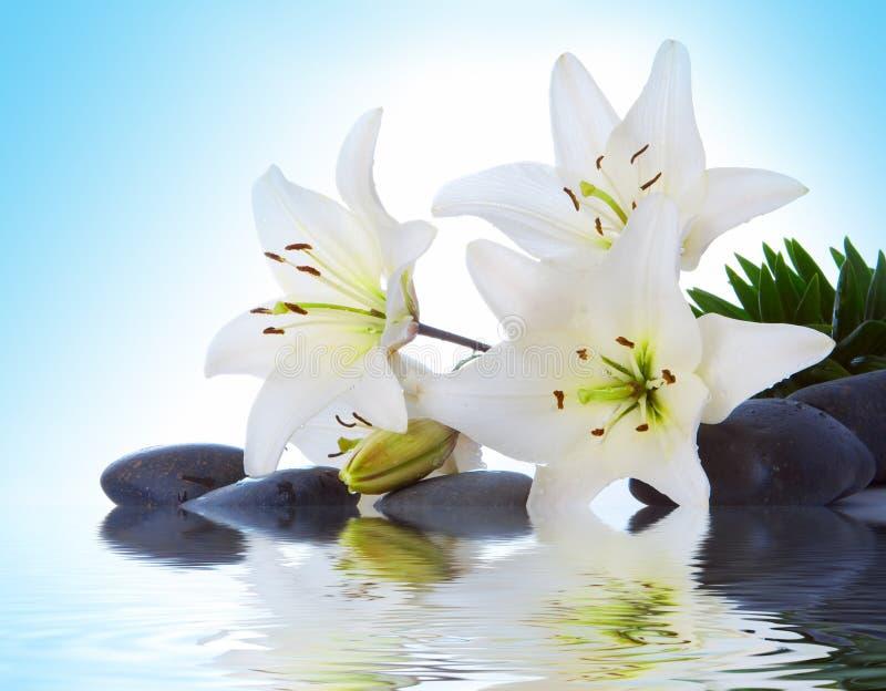 madonna lily zdjęcia royalty free