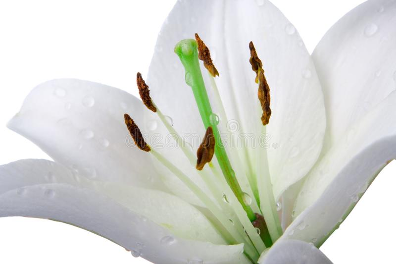 Madonna lily flower royalty free stock images