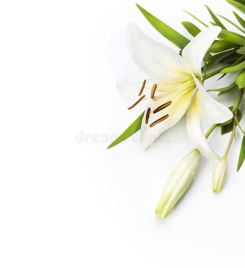 Download Madonna Lily Isolated On A White Background Stock Image - Image of pattern, composition: 20288623