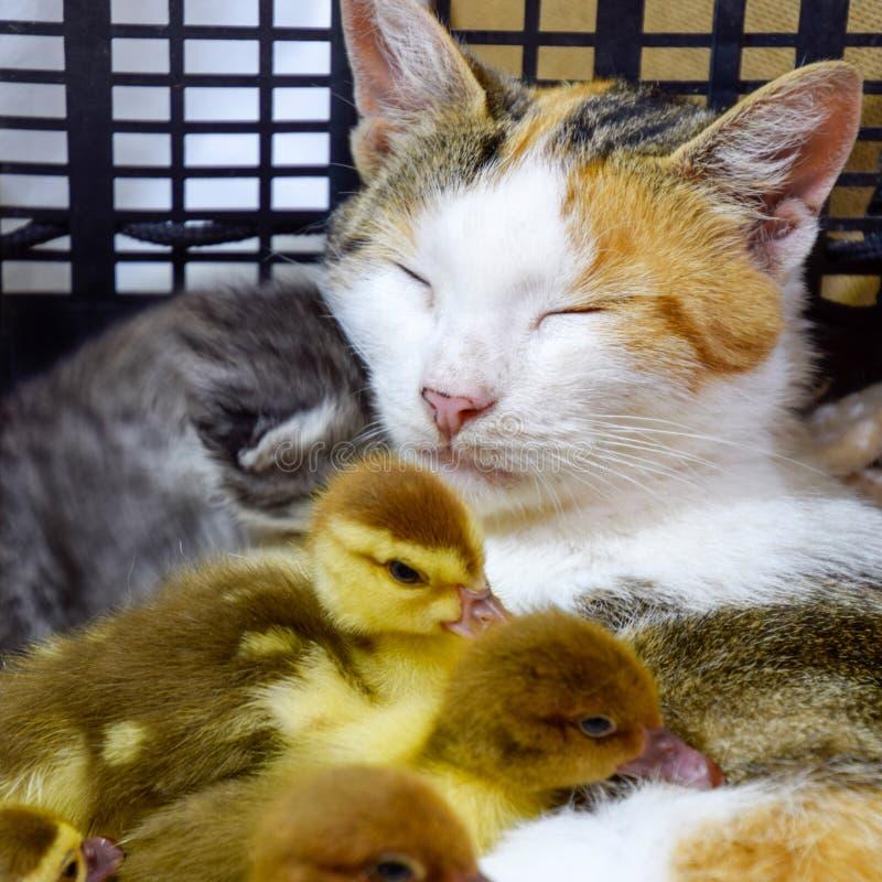 Madre adoptiva del gato para los anadones fotografía de archivo