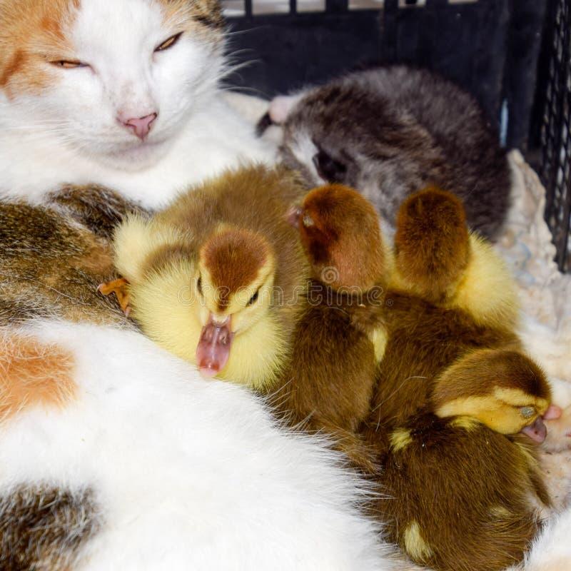 Madre adoptiva del gato para los anadones fotografía de archivo libre de regalías