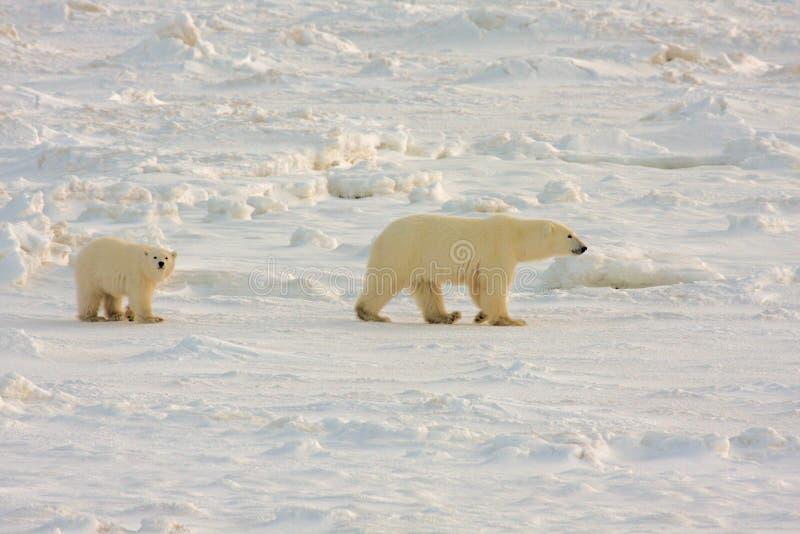 Madre in buona salute e cub dell'orso polare immagine stock libera da diritti