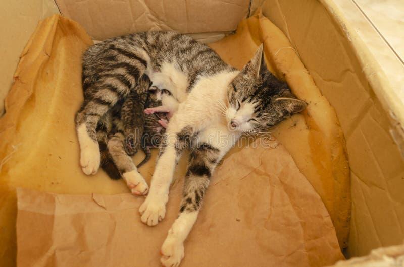 Madre Cat Feeding Newborn Kittens imagen de archivo libre de regalías