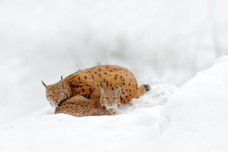 Madre con la familia de gato joven, salvaje Lince en hábitat de la fauna de la naturaleza Dos gato, nieve de los árboles Lince en fotos de archivo libres de regalías