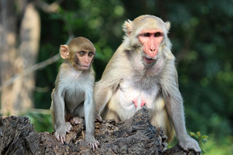 Madre con la sua giovane scimmia, mulatta-PS del Macaca, Haidarabad, Telangana, India immagine stock