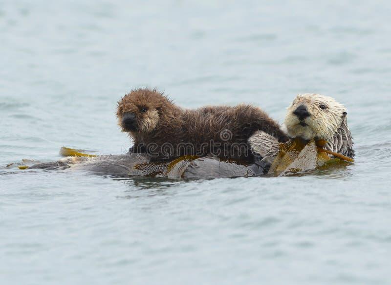 Madre de la nutria de mar con el bebé/el niño adorables en el quelpo, su grande foto de archivo libre de regalías