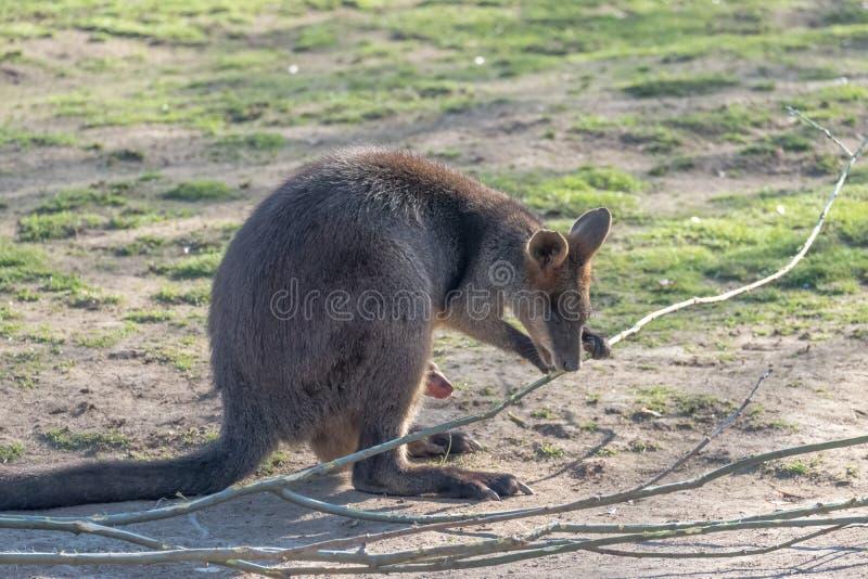 Madre del canguro, con un bambino Joey nel sacchetto fotografie stock