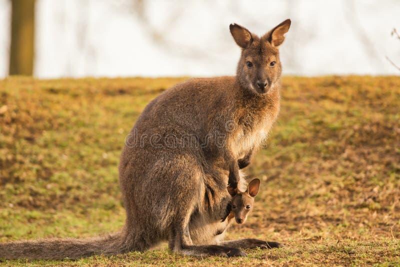 Madre del canguro con un bebé imagen de archivo