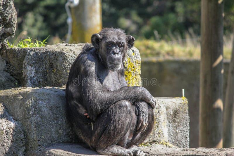 Madre del chimpancé que sienta y que protege a su niño donde están visibles sus fingeres minúsculos pequeñitos lindos del bebé imagenes de archivo