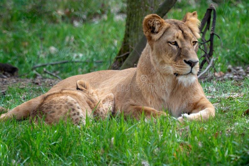 Madre del leone con i suoi giovani cuccioli Leone congolese immagine stock libera da diritti