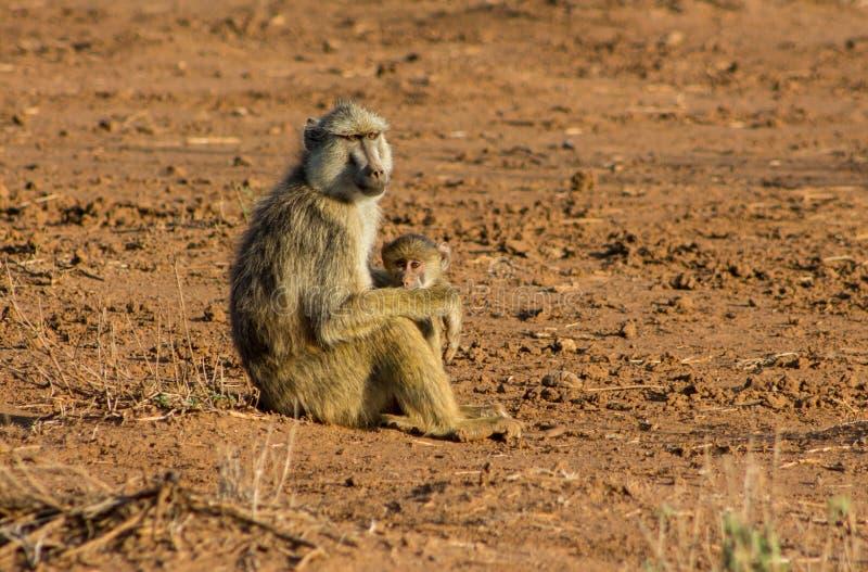 Madre del mono del babuino con el bebé en la naturaleza salvaje de África fotos de archivo libres de regalías