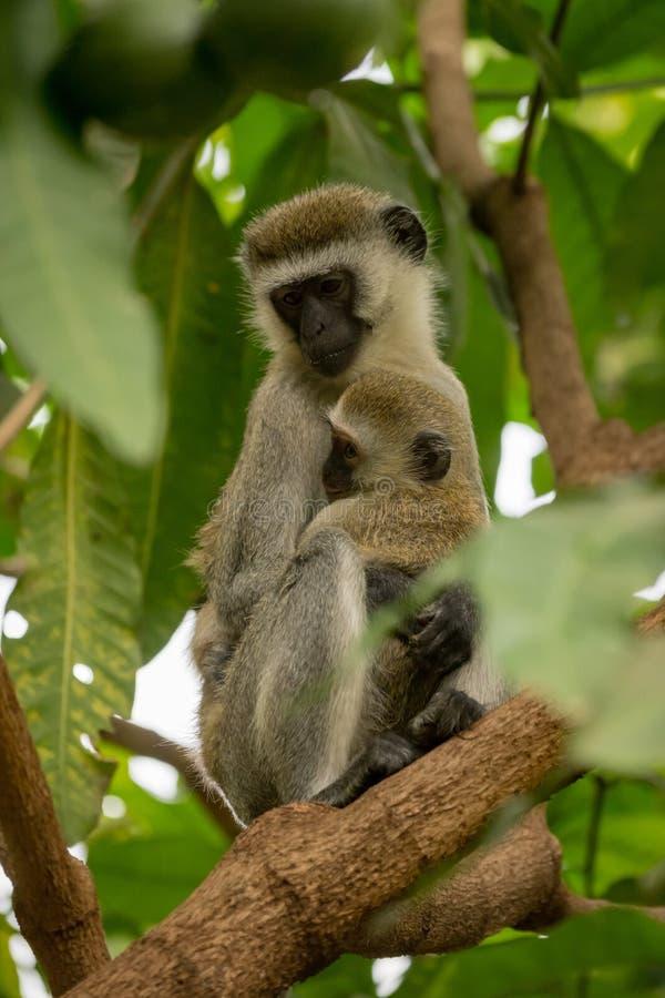Madre del mono de Vervet con el bebé en rama imágenes de archivo libres de regalías