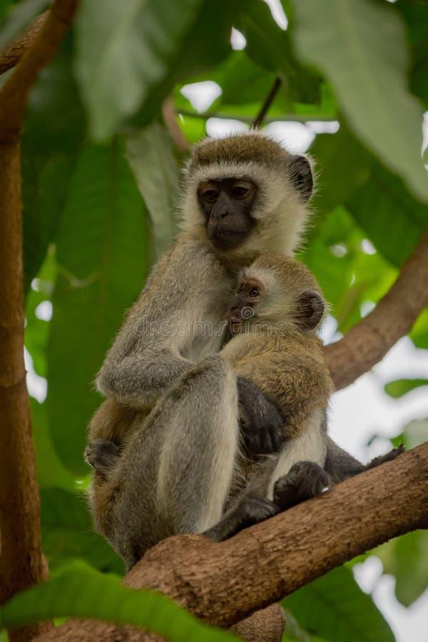 Madre del mono de Vervet que celebra al bebé en ramas imagen de archivo