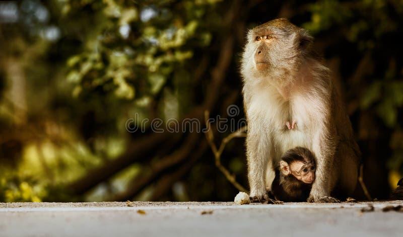 Madre del mono y su bebé en la cangrejo-consumición de la naturaleza, de los fascicularis del Macaca o el macaque de cola larga fotografía de archivo libre de regalías