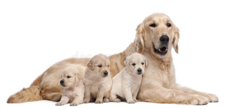 Madre del perro perdiguero de oro, 5 años fotografía de archivo libre de regalías