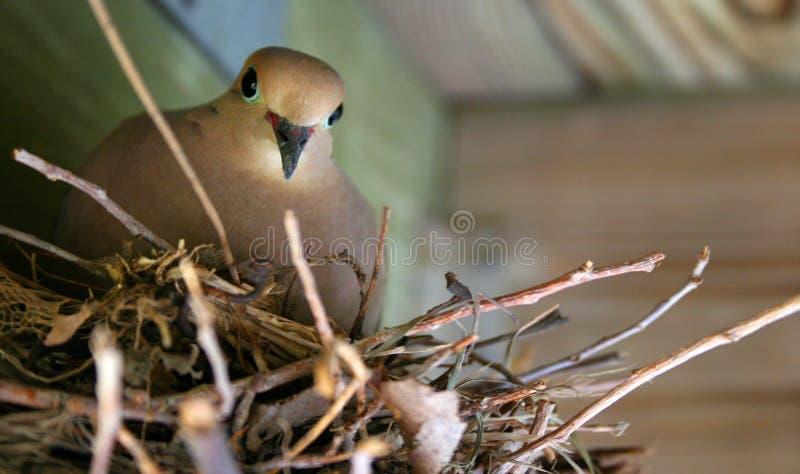 Madre del piccione immagine stock