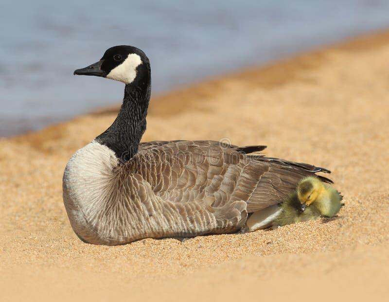 Madre dell'oca del Canada con il bambino Gosling immagine stock libera da diritti