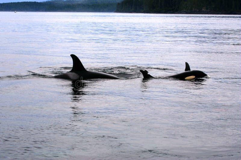 Madre della balena dell'orca con giovane nuoto nello stretto di Johnstone, oceano Pacifico, Canada immagine stock