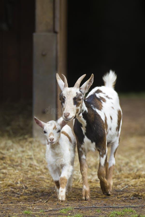 Madre della capra con il bambino immagini stock libere da diritti