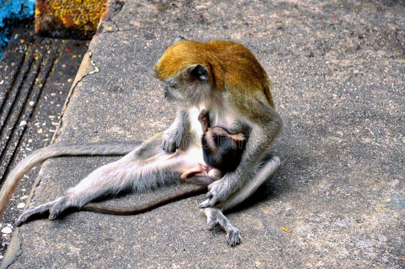 Madre della scimmia che allatta al seno il suo bambino in Malesia immagine stock libera da diritti