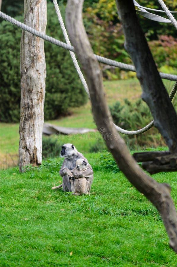 Madre della scimmia di Vervet con allattamento al seno della scimmia del bambino fotografia stock libera da diritti