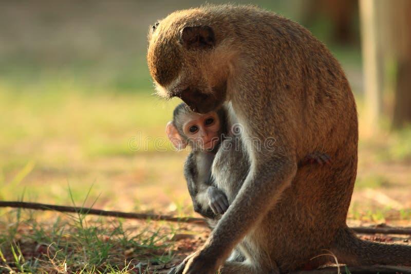 Madre della scimmia di Vervet con il bambino