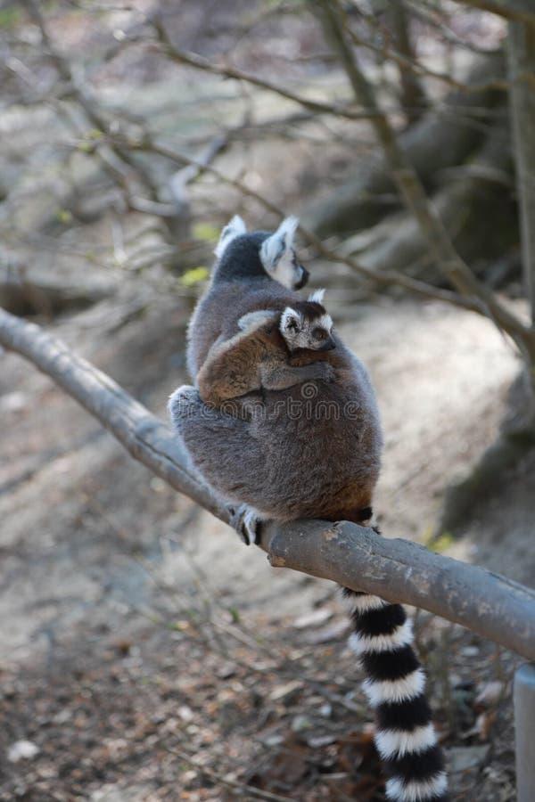 Madre delle lemure catta con il bambino sulla parte posteriore immagine stock