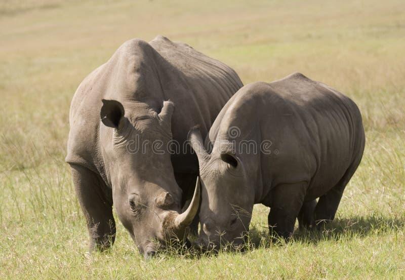 Madre di rinoceronte & bambino bianchi, Sudafrica immagine stock libera da diritti