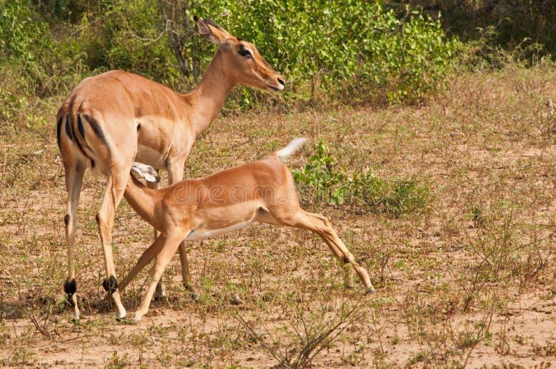 Madre e bambino del Impala immagine stock