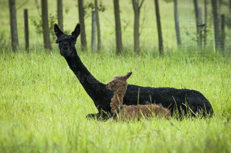 Madre e bambino dell'alpaga fotografia stock libera da diritti