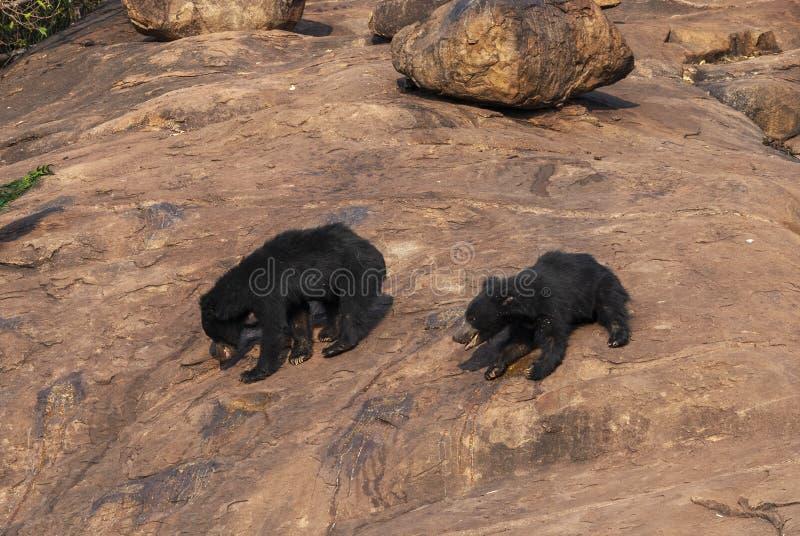 Madre e bambino dell'orso di bradipo al santuario dell'orso di Daroji, il Karnataka, India fotografia stock