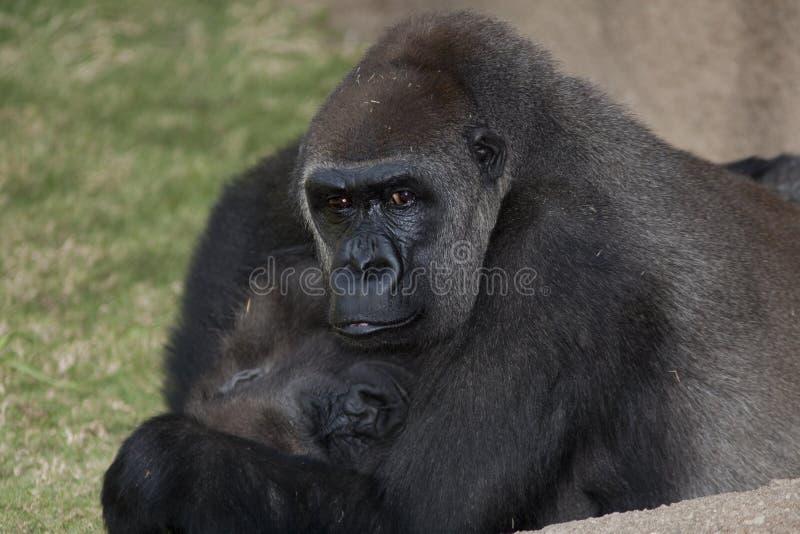 Madre e bambino della gorilla fotografia stock libera da diritti