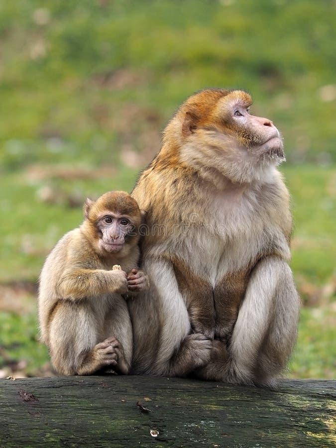 Madre e bambino della scimmia di berbero fotografie stock