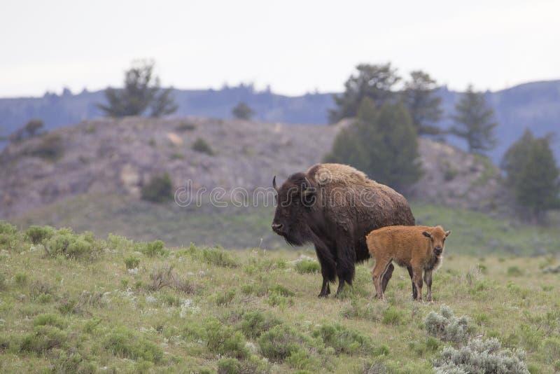 Madre e bufalo recentemente sopportato nel Wyoming fotografia stock