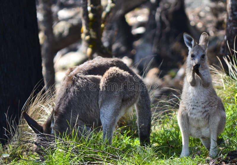 Madre e canguro inquisitore del bambino, Tenterfield, Nuovo Galles del Sud, Australia immagine stock libera da diritti